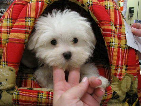 We have quite a few gorgeous maltese puppies available.