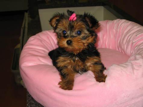 Yorkie Puppy New York