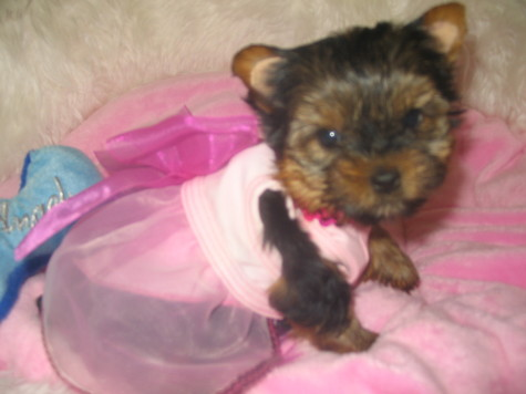 Yorkshire Terrier Puppies on Yorkshire Terrier Puppies For Sale Call Us At 516 679 7880  For Sale