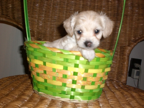 Tiny Female Maltipoo
