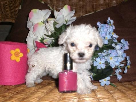 TSpoon Matipoo puppy