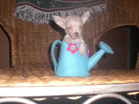 Tcup Chihuahua