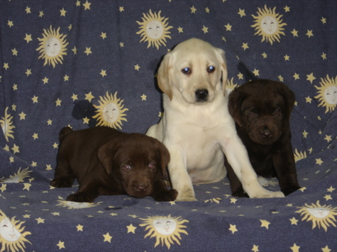 M/F CHOCOLATE AND YELLOW LAB PUPPIES FOR SALE $780 EACH. 8-9 WEEKS OLD.
