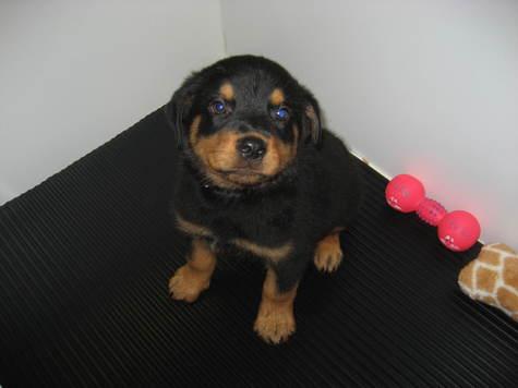 Rottie Puppies