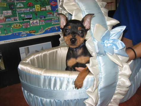 miniature pinscher for sale syracuse ny - photo#22