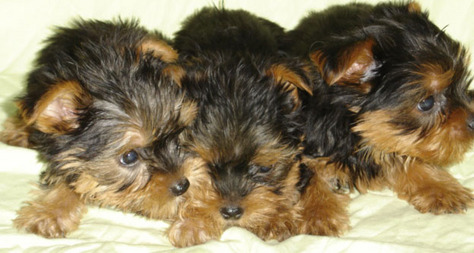 Yorkie  Puppies on Yorkie Poo Puppies For Sale  Asking  550 And Up On Each  2 3