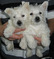 WESTIE $950 (EMPIRE PUPPIES 718-321-1977)