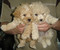 TOY AND MINI POODLE $950   (EMPIRE PUPPIES 718-321-1977)