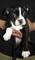BOSTON TERRIER (Empire Puppies)