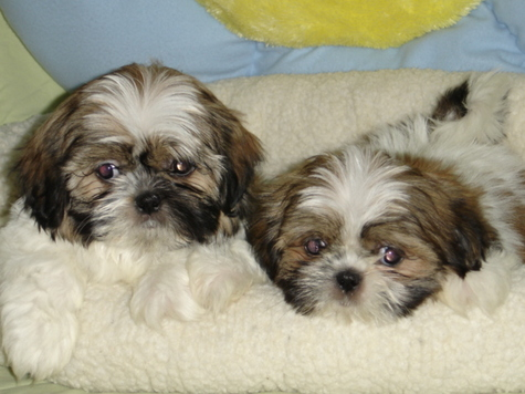 Shih  Puppies on On Each    Cocker A Tzu  Cockapoo  Shih Tzu And Yorkie Mixed Puppies