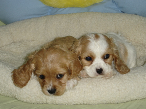 Cavachon Puppies on Cocker Spaniel  Cockalier  Cockapoo  Cavachon     Puppies Here