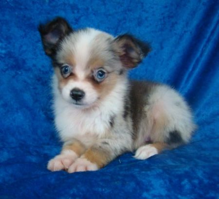 Puppies on Toy Australian Sheperd Puppies For Sale In New York City  Aussie  For