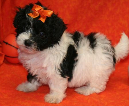 One Of The Most Adorable Maltese Chihuahua Puppies | Dog Breeds ...