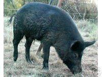 wild Hog Boar