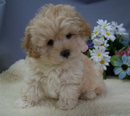 Maltipoo Puppies on Teacup   Toy Maltipoo Puppies For Sale On Long Island    Call  For