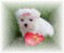 Teacup & Toy Maltese puppies for sale on Long Island New York
