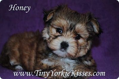 Morkie Puppy for Sale in California