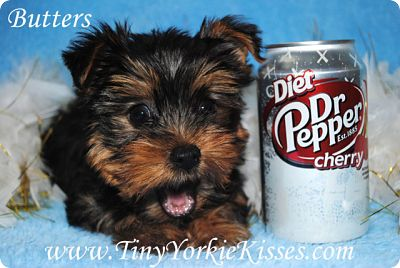 Yorkshire Terrier for Sale in California