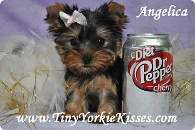 Teacup Yorkie Puppy for Sale California