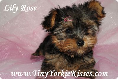Teacup Yorkie for Sale in California