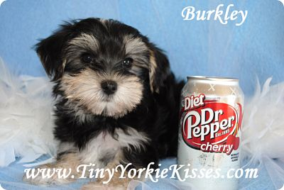 Morkie Puppy Tiny Yorkie Kisses