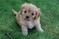 Cavapoo and Cockalier Puppies for sale on Long Island New York