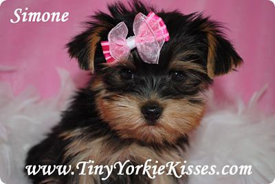 Yorkie Puppy for Sale in California