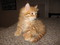Hypo Allergenic Siberian Kittens  Best Cure from the Stress