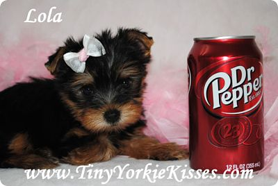 Teacup Yorkie Puppy