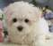 Teacup & Toy Maltipoo puppies for sale in Queens New York.......