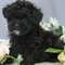 SHIHTZU, SHIHPOO & TEDDYBEAR PUPPIES FOR SALE IN QUEENS NEW YORK