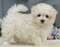 Teacup & Toy Puppies in Bayside Long Island New York...