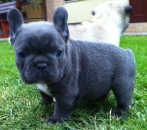 Full grown blue french bulldog - photo#25