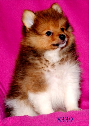 Image Gallery teacup pomapoos