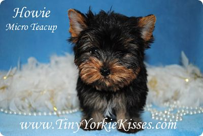 Micro Yorkie Tiny Yorkie Kisses