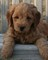 Miniature Goldendoodle puppies for sale on Long Island New York.