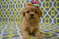Shiffon and Brussels griffon puppies for sale in Queens New York