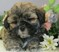 TEDDY BEAR PUPPIES for sale on LONG ISLAND, NEW YORK....come see