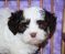 Havanese Puppies for Sale in Queens & Long Island