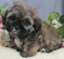 Shipoo Puppies for sale in New York on Long  Island..Shihpoo pup
