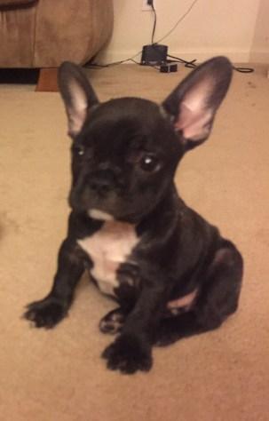 French Bulldog Puppy Ca
