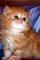 Persian, Himalayan, Chinchilla Kittens for Sale.