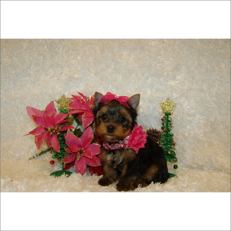 Yorkshire Terrier Puppies for sale in New York Call 631-923