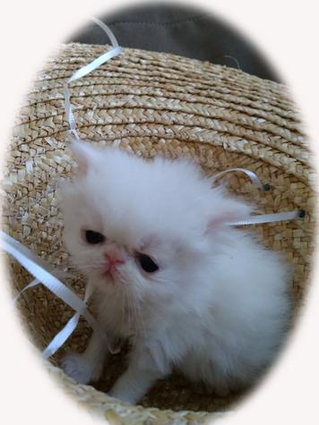 Cotton (male)