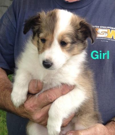 Female Sheltie puppy