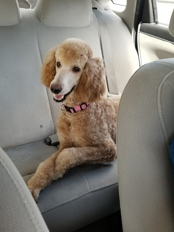 Bella, Standard Poodle Puppy