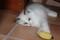 Registered Ragdoll Kittens Beautiful