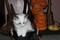 Ragdoll Kittens Beautiful TICA Reg.!