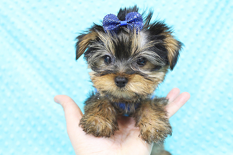 Teacup Yorkie puppy in Costa Mesa CA