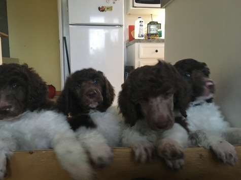 Beautiful Standard Parti Poodles Ready for forever homes